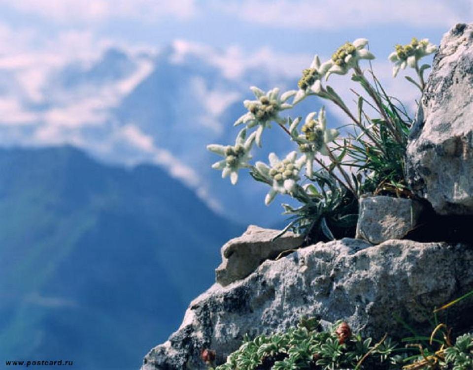 Картинки цветок эдельвейс 2