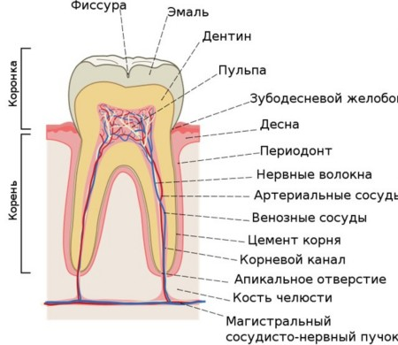поверхность зуба.