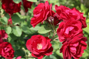 Розы цветут - Страница 17 G2sqc